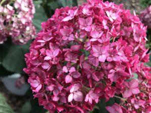 Hydrangea Invincibelle Ruby