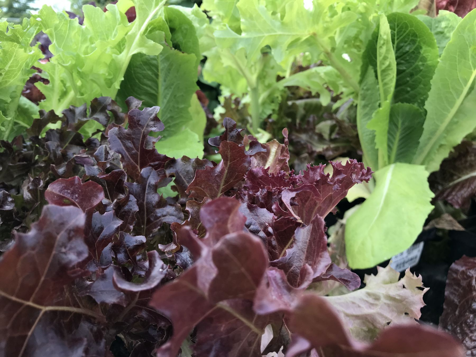 All Star Lettuce Mix