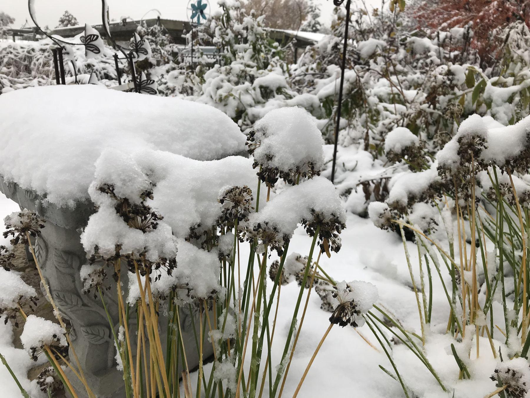Allium flowers with snow