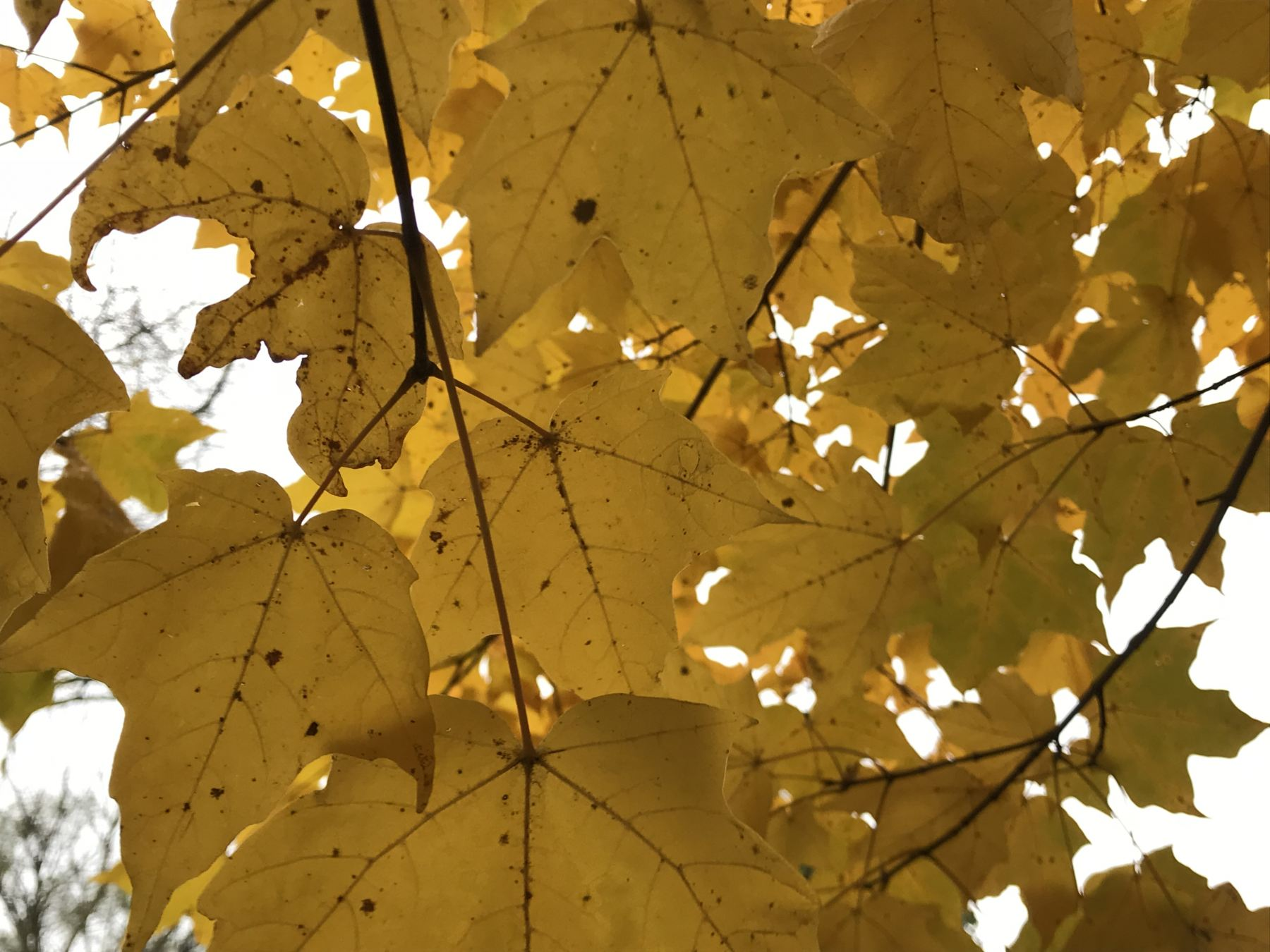 Sugar Maple Leaves in Fall