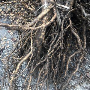 Bareroot Trees & Shrubs
