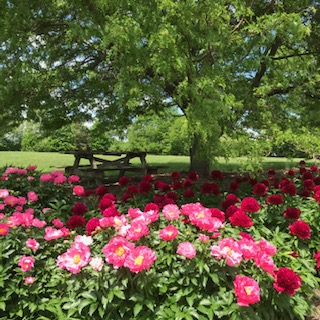 Peonies to Last a Lifetime