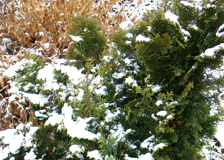 Protect Your Evergreens